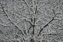 _THI8594_1 (thiger_fr2000) Tags: hiver neige arbre