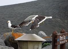 Smorgasboard Meal Tonight!! (possumgirl2) Tags: seagulls birds gulls seabirds waterbirds laridae