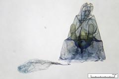 Stangeia xerodes (dhobern) Tags: october australia lepidoptera pterophoridae act 2010 aranda pterophorinae stangeia xerodes