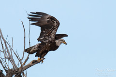 Young Bald Eagle takes flight