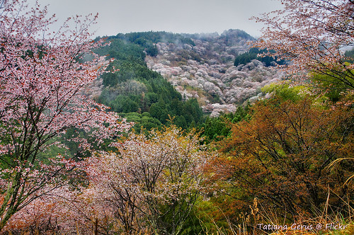 Cherry blossoms of Yoshinoyama