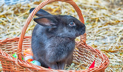 _MG_4713_HDR (Flavius Andrei) Tags: rabbit bunny easter easterbunny