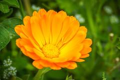 Calendula officinalis (Maxime Bonzi) Tags: bokeh spring lyon flowers flower calendula orange alpes printemps fleur rhone herbes tige officinalis verdoyant pétale fleurs