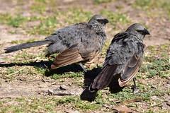 Apostlebirds (Luke6876) Tags: bird animal wildlife australianwildlife apostlebird