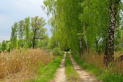 spring in the countryside (JoannaRB2009) Tags: road trees light sunlight green nature landscape spring sand view path sandy poland polska birch lodzkie dzkie sarnw