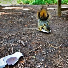 Squirrel Bandit FAIL (MacroMarcie) Tags: square squirrel chocolate thief bandit fail hss peanutbuttercup thehuntingtonlibrary epicfail slidersunday macromarcie