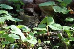 Ovenbird (Rita Wiskowski) Tags: lakepark