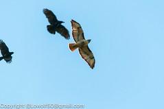 RedTailHawk battle 8_DSC5606.jpg (orig_lowolf) Tags: usa home oregon nikon flickr flight crow attacking redtailedhawk lakeoswego d300s sigma150500mmf563afapodgoshsmtelephotozoom