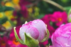 Ranukel (lina_photo_rossb) Tags: flower spring rosa blumen tau garten wassertropfen botanischer ranukel