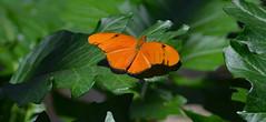 Lazy Days (BKHagar *Kim*) Tags: butterfly garden insect fly al wings huntsville alabama velvet purdy flap huntsvillebotanicalgarden flitter bkhagar