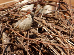 Sparrow on the Grapevine Tree (Doundounba) Tags: tree bird montral pentax vine qubec sparrow oiseau vigne grapevine moineau k3 villeray pentaxhdda55300mmf458