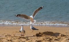 White-eyed sea gulls (Chris Smearing) Tags: newzealand southisland greatwalk abeltasmannationalpark