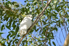 Sulphur-crested Cockatoo (Cacatua galerita) (shaneblackfnq) Tags: new bird wales south sydney parrot australia nsw sulphur cockatoo crested helensburgh cacatua illawarra sulphurcrested galerita shaneblack