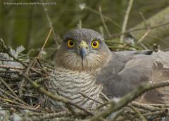 Sparrowhawk Female (Steven Mcgrath (Glesgastef)) Tags: bird scotland nest hawk glasgow raptor prey nesting sparrowhawk