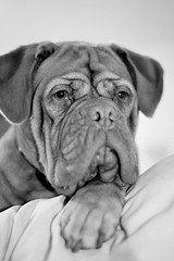 My baby Bella (tinypaws28) Tags: blackandwhite dog pet animal mansbestfriend potrait doguedebordeaux frenchmastiff