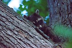 Noisy Raccoon after Sunset