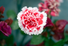 In-carnation! (Pensive glance) Tags: plant flower nature fleur plante ngc npc carnation illet