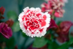 In-carnation! (Pensive glance) Tags: plant flower nature fleur plante ngc npc carnation illet