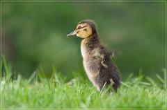 shake it (jos.pannekoek) Tags: duckling vogels natuur nikkor 70200 eend eendje 70200f4 d7000