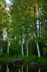 Birches (Villikko) Tags: summer lake tree sunshine finland birch puu kes jrvi
