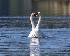 Swans (Paul Rioux) Tags: love nature birds dance outdoor romance mating ritual avian muteswan shorebird esquimaltlagoon prioux