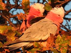 pink galahs in the morning light (jeaniephelan) Tags: parrot galahs australianbird pinkgalahs