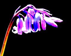 Boost Bluebells (NikWatt) Tags: macro edinburgh handheld 105mm nikwatt windowslivephoto edinburghphotographerssigma lenssigmasonysony a580greatscotsgreatcolorscotlandthe braidspolarizedsunnysigmasony a580greatscotsgreatcolorsscotland