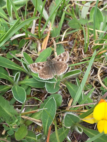 Dingy Skipper at Killykeegan Nature Reserve in County Fermanagh