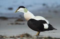 Eiderente / Eider (RoninGanryu) Tags: bird nature animal duck natur ente eider tier vogel eiderente helgoland