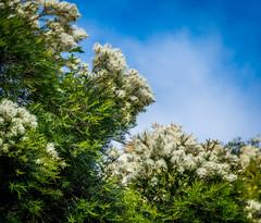 Evergreen tree in bloom (randyherring) Tags: california park ca morning blue sky white tree green beautiful closeup clouds us flora unitedstates outdoor evergreen bloom losgatos blooming liveoakmanorpark