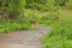 Doe. A Deer. A Female Deer (12607) (jonathanclark) Tags: wild nature female mammal spring path wildlife doe deer northernireland countydown newtownards countrypark leadmines whitespots