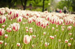 Before They're Gone **Explored** (flashfix) Tags: pink flowers white ontario canada green nature floral field nikon tulips ottawa stems 40mm mothernature confederationpark tulipfest 2016 ottawatulipfest d7000 may252016 2016inphotos