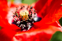 Touched in the Heart (NathalieSt) Tags: flowers flower fleur fleurs poppy poppies coquelicot coquelicots 003nature pavotpoppy