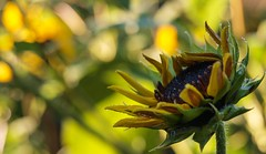 Tangled up in yellow (Chi Tranter) Tags: green nature leaves yellow garden petals sunflower