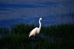 Cliffwood Beach New Jersey (Robert Scifo) Tags: ocean summer beach water birds newjersey nikon egret southjersey cliffwood
