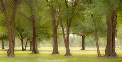 A Green Panorama. (Panorama Verde). (Samuel Santiago) Tags: trees green orlando florida manualfocus cypressgrovepark canon40d bower85mmf14 lightroomcc panoramaimagestitching
