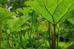 Gunnera (Keith (foggybummer)) Tags: green leaves giant impressive gunnera herbaceous houseofdun