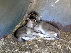 babygoats (kitjohansen) Tags: babygoat babyanimal goatgoatsneewbornanimalfarm