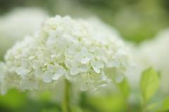 Hydrangea Kobe / Japan (Kashinkoji) Tags: flower nature 50mm outdoor sony hydrangea slt a77 ajisai