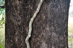 Silk Pod Vine on Grey Box (dustaway) Tags: winter tree texture nature stem vine australia bark nsw trunk climber myrtaceae greybox northernrivers australianplants richmondvalley parsonsia eucalyptusmoluccana silkpodvine