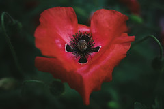 The Heart Bleeds (MikeBrowne) Tags: shape depthoffield fujifilmxt1 fujinon 35mm poppy flower