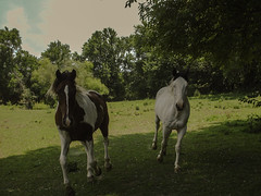 Coming To Say Hello (EX22218 - ON/OFF) Tags: blue trees horses brown white black green grass clouds cheval paint skies stripes ears blaze equine mane hoofbeats