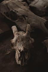 Goat Skull (Casey Louise Photography) Tags: skulls horns taxidermy bones nikkor amity oregonian nikonian goatskull caseylouisephotography