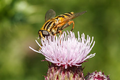 Hoverfly (Paul Braham Photography) Tags: macro animal animals closeup insect fly insects flies creatures