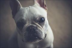Boo (gol-G) Tags: dog color japan digital pentax bokeh kobe frenchbulldog k3 justpentax selectiveconceptualdof da1650mmf28edalifsdm