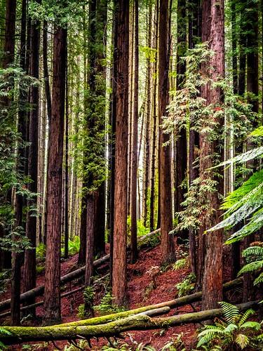 Redwood Forest-8