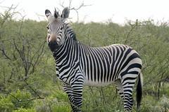 Now A Lovely Hartmann's Mountain Zebra (zenseas : )) Tags: africa wild vacation holiday fun driving safari zebra namibia etosha dolomite mountainzebra selfdrive etoshanationalpark selfdrivesafari hartmannsmountainzebra hartmannszebra equuszebrahartmannae