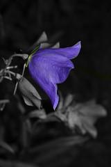 Blue bell (hcorper) Tags: 100x bluebells blklockor selectivecolour flower plant outdoor nikond3100