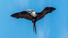 Baja California Sur, Mar de Cortez-19.jpg (gaillard.galopere) Tags: fish bird beautiful mexico fisher bajacalifornia baja bajacaliforniasur hunt gaillardgalopere mexcapade