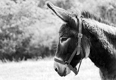 My good side !! (patrick_milan) Tags: blackandwhite bw white black monochrome animal noir noiretblanc donkey nb blanc ane